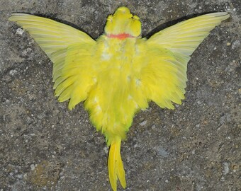 Yellow parrot skin feather taxidermy
