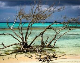 Photograph of a Divi Divi Tree in Aruba on Canvas