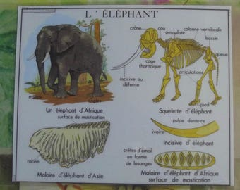 Wall decoration, Set of Table 42 x 30 cm, African Elephants belonging to the genus Loxodonta: the savanna elephant and the forest elephant.