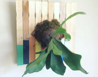 Staghorn fern mounted on paint stir sticks