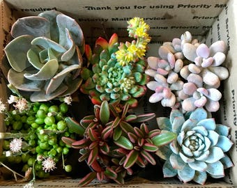 """12 pack of 3.5"""" succulents"""