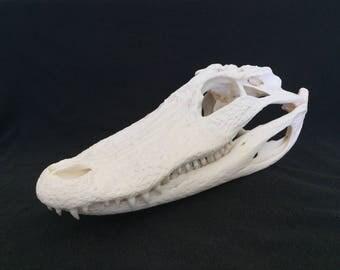 American Alligator Skull