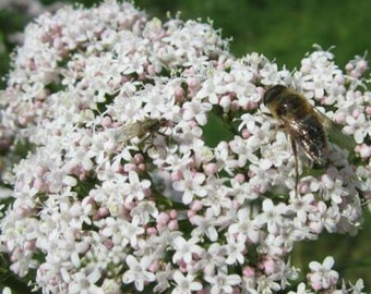 Valerian Seeds / Valeriana officinalis