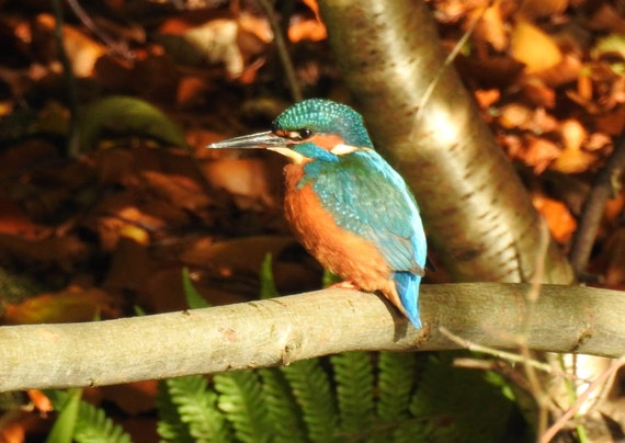 kingfisher in a lovely autumn scene