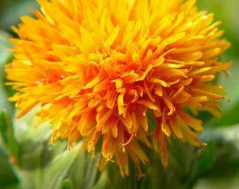 Safflower seeds 5 (safflower seeds)