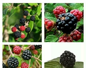 60 seeds Rubus Ulmifolius BlackBerry BlackBerry seeds graines sementes samen semi.
