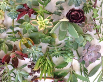 15+ Beautiful Succulent  Cuttings