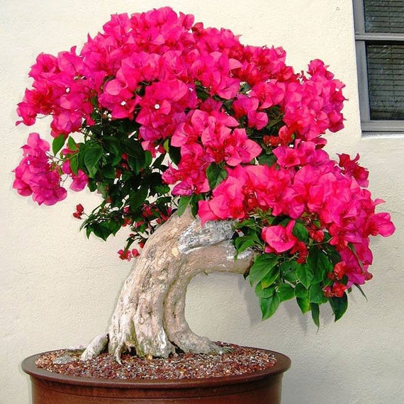 20 mixed color bougainvillea plant seeds spectabilis bonsai flower seeds bonsai from cibogro on. Black Bedroom Furniture Sets. Home Design Ideas