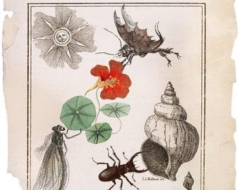 Nasturtium, vintage herbarium print,  vintage wall art, herbarium printable art,  download printables, botanical poster