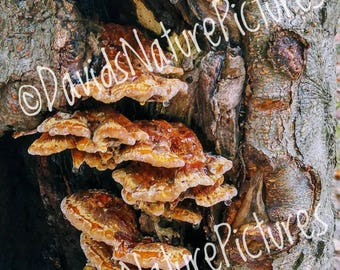 "Digital Download - ""Pancake Fungi with Syrup"" - Nature Photography"