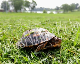 Digital Download - Baby Turtle in Grassy Field - Nature Photography
