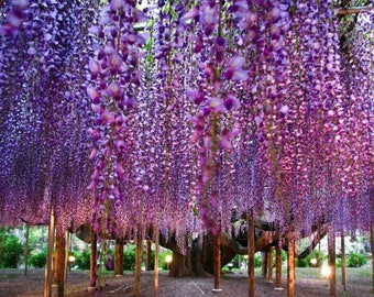 LIVE Purple Wisteria amethyst falls plant/vine potted  Organically Grown and pesticide free