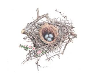 Scrub Jay Nest with eggs