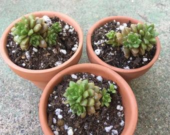 """Cremnosedum """"Little Gem"""" Succulent Plant"""