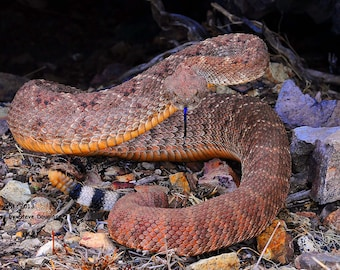 Western Photography SD > Western Diamond Red Phase Snake Southwest New Mexico Wildlife Pit Viper Rattlesnake