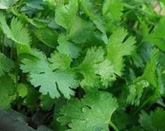 "30 Organic Parsley Seeds, Non-GMO ""Italian"""