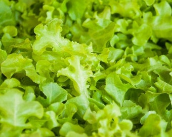 Green Salad Bowl Lettuce Seeds-Organic-NON-GMO-High Yielding