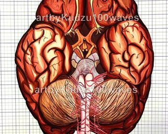 Brain (Homo sapiens)