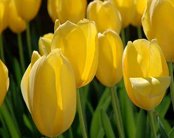 Photograph of gorgeous bright yellow tulips with fresh green stems standing out against a black background