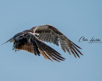 Raptor Photo, Osprey Photo, Bird Art, Wall Art, Blue Art, Nature, Wildlife Photography, Outdoor, Flight