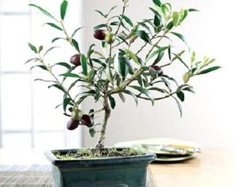15seeds Olive Bonsai tree (Olea Europaea) Seeds, Bonsai Mini Olive Tree, Olive Bonsai Fresh Exotic Tree Seeds