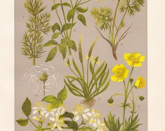 Vintage lithograph of pasque flower, tiny mousetail, old man's beard, summer pheasant's-eye, greater meadow-rue from 1911