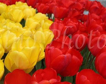 Red Yellow Tulips Photograph, Instant Download, Fine Art Photography, Stock photo