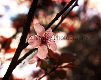 Cherry Blossom Digital Photo-Digital Download-Cherry Tree-Flowers-Blossoms-Photography-Digital Photography