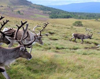 Reindeer Mountain - nature - landscape - scotland - animals - highlands - digital - photot - download