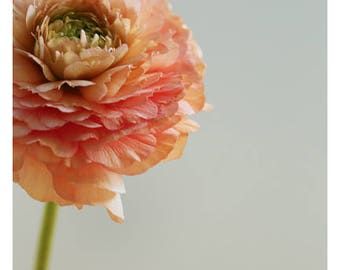 Home Decor - Gift For Mom - Flower Photograph - Nature Photograph - Pink Print - Exquisite - Ranunculus Art - Floral Art - Oversized Art