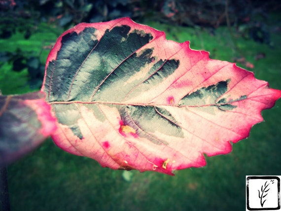 Nature, Color Photograph, fine art, photo print, wall art, home decor, leaf, Summer, pink, green, haiku, pem
