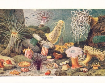 1920s Sea Print - Sea Anemones - Vintage Antique Art Illustration Book Plate Natural Science Great for Framing 95 Years Old