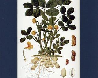 Natural History 1911 Antique Print of Peanut Plant