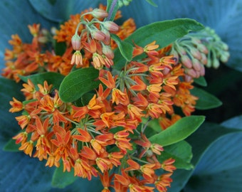 Asclepias Butterfly Weed Seeds