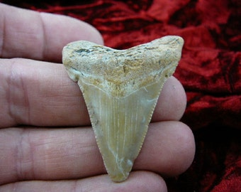 1-7/8 inch Fossil MEGALODON Shark Tooth Teeth for JEWELRY craft Nice specimen S241-28