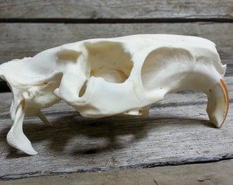 Nutria Skull - Collector Quality - Myocastor coypus - Lot No. 161110-E