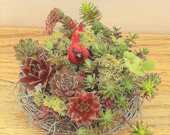 Succulent Bird Nest   with a Red Cardinal
