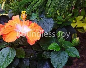Orange Hibiscus Flower Photo Print - 8x10 Art, Tropical Flowers