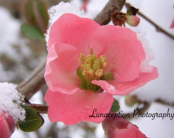 Blossom in Snow Photograph 11 x 15