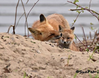 Red Fox with Kit, Momma and Baby Animals, Wildlife Photography, Fine Art Photograph, Fox Photos, Fox preening her kit, foxy