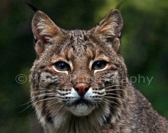 Nursery Decor, Bobcat Lynx Cat Feline, Nature Photography, Animal Photography, Fine Art Photography matted & signed 5x7 Original Photograph