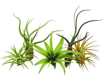 Bliss Gardens 5 Pack Assorted Air Plants Tillandsia's / Unique Plants