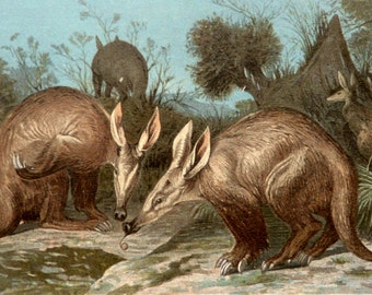 1890 Antique lithograph of AARDVARK. African animals. Insectivorous mammals. Aardvarks. Zoology. Natural History. 127 years old lithograph