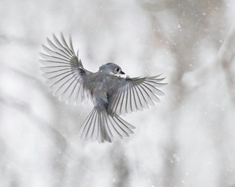 Bird photography: The Art of Staying Aloft No. 7 Tufted Titmouse (Baeolophus bicolor)