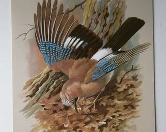 Vintage Bird Print Book Plate Page of Jay 1965  reprinted 1985
