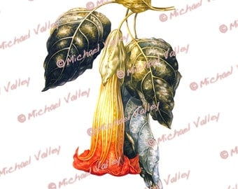Angel Trumpet Clip Art Printable Vintage Botanical Illustration Beautifully detailed PNG downloadable transparent aka no background 300 DPI