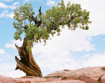 Tree in Moab, Utah. 8x10 print by Ryan Muirhead. Unsigned.