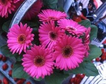 ADGR) REVOLUTION FUCHSIA Gerbera Daisy~Seed!!~~~~~Fun, Jewel Tone!