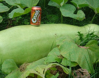 VGH) ZUCCA GOURD~Seeds!!~ ~~Make Your Own African Drums!!!~~Hardshell Variety!