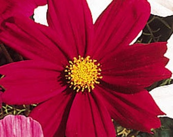 ACS)~FUCHSIA COSMOS~Seeds!!~~~~~Lively & So Easy to Grow!!!